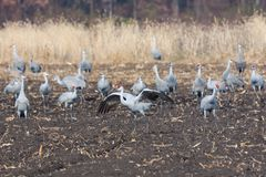 Sandhill Cranes in the Farm. Sandhill crane eat from a recently plowed farm field. One crane raises and flaps its wings to protect the flock stock photos