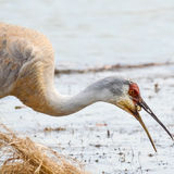 Sandhill Crane. Eating a snail in a marsh Royalty Free Stock Photos