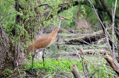 Sandhill Crane Stock Photos
