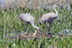 Sandhill crane family Royalty Free Stock Photos