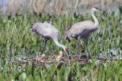 Sandhill crane family Royalty Free Stock Photos