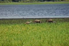 Sandhill Crane Family Stock Photo