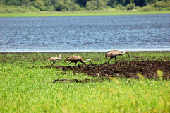 Sandhill Crane family feeding Stock Photography