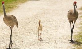 Sandhill Crane Family Stock Photography