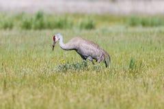Sandhill Crane in field Stock Images