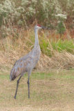 Sandhill Crane. Fill body profile of a standing sandhill crane in a meadow filled with prairie grass, ironweed and goldenrod stock image