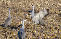 Sandhill crane flapping Royalty Free Stock Images