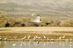Sandhill crane flies over the Bosque del Apache National Wildlife Refuge at sunrise, near San Antonio and Socorro, New Mexico Royalty Free Stock Image