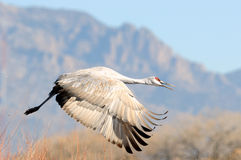 Sandhill Crane in flight Stock Image