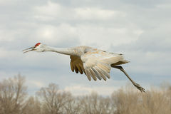 Sandhill Crane in Flight Royalty Free Stock Images