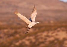 Sandhill crane in flight Royalty Free Stock Photography