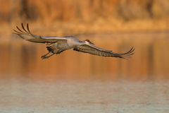 Sandhill crane in flight Royalty Free Stock Image