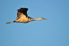 Sandhill crane in flight Stock Photos