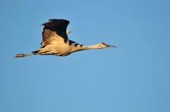 Sandhill crane in flight Stock Photos