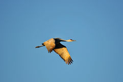 Sandhill Crane in flight Stock Photo