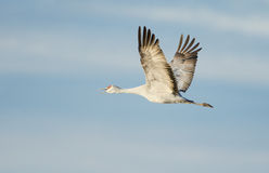 Sandhill Crane In Flight Stock Photography