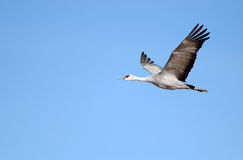 Sandhill Crane in Flight with Blue Sky Background Royalty Free Stock Images