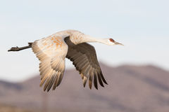 Sandhill crane in flight with blue sky Stock Photography