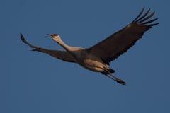 Sandhill Crane in Flight Stock Images