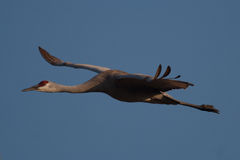 Sandhill Crane in Flight Royalty Free Stock Images
