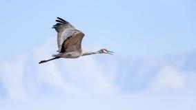 Sandhill Crane in flight Royalty Free Stock Image