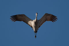 Sandhill Crane in Flight royalty free stock photos