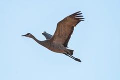 Sandhill Crane in Flight. A lone Sandhill Crane flies overhead against a blue sky Stock Photos