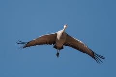 Sandhill Crane in Flight. A lone Sandhill Crane flies overhead against a blue sky Stock Image