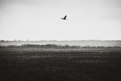 Sandhill Crane in Flight. Royalty Free Stock Photo