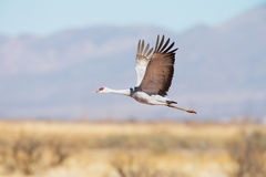 Sandhill Crane In Flight Stock Images