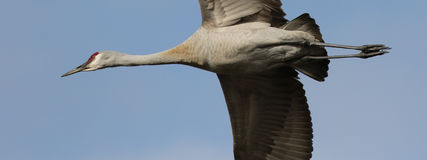 Sandhill Crane in Flight Royalty Free Stock Photography