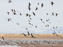 A Sandhill Crane Flock Flies Above Whitewater Draw. A Sandhill Crane Flock Fills the Sky Above its Winter Survival Group Standing in a Pond at Whitewater Draw Stock Image