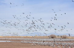 A Sandhill Crane Flock Flies Above Whitewater Draw Royalty Free Stock Images