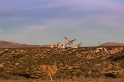 Sandhill Crane Flock in Flight Royalty Free Stock Photography