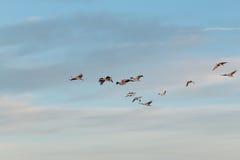 Sandhill Crane Flock Stock Photo