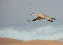 Sandhill crane flying across mountain top at sunrise. Royalty Free Stock Image