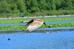 Sandhill crane flying in the air. stock images