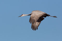 Sandhill crane flying. Stock Image