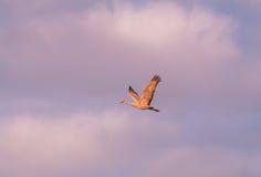 Sandhill Crane Flying Stock Image