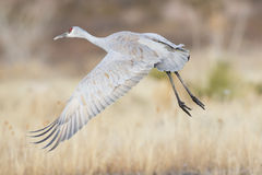 Sandhill crane flying off from pond Stock Photos
