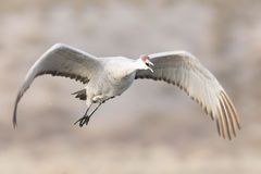 Sandhill crane flying over pond Stock Photo