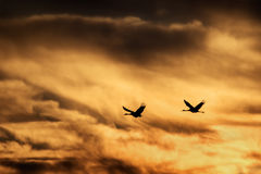 Sandhill Crane Flying in Sunset Royalty Free Stock Photography