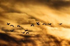 Sandhill Crane Flying in Sunset Stock Images