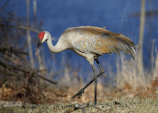 Sandhill Crane foraging next to a lake - Michigan Royalty Free Stock Photos