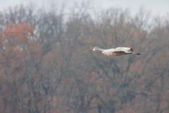 Sandhill Crane Glide Across Tress stock foto's