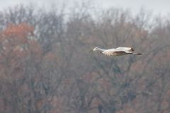 Sandhill Crane Glide Across Tress. A sandhill crane glides to a landing in front of autumn colored trees stock photos