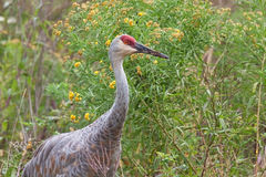 Sandhill Crane in Goldenrod Royalty Free Stock Photography