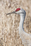 Sandhill Crane - Grus canadensis Stock Photo