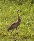 Sandhill crane - Grus canadensis Royalty Free Stock Image