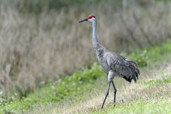 Sandhill crane, grus canadensis Royalty Free Stock Photos